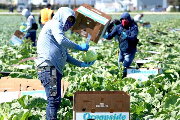 Field workers wear face masks and gloves while harvesting the first crop of organic cabbage in Watsonville for Lakeside Organic Gardens. — Tarmo Hannula/The Pajaronian